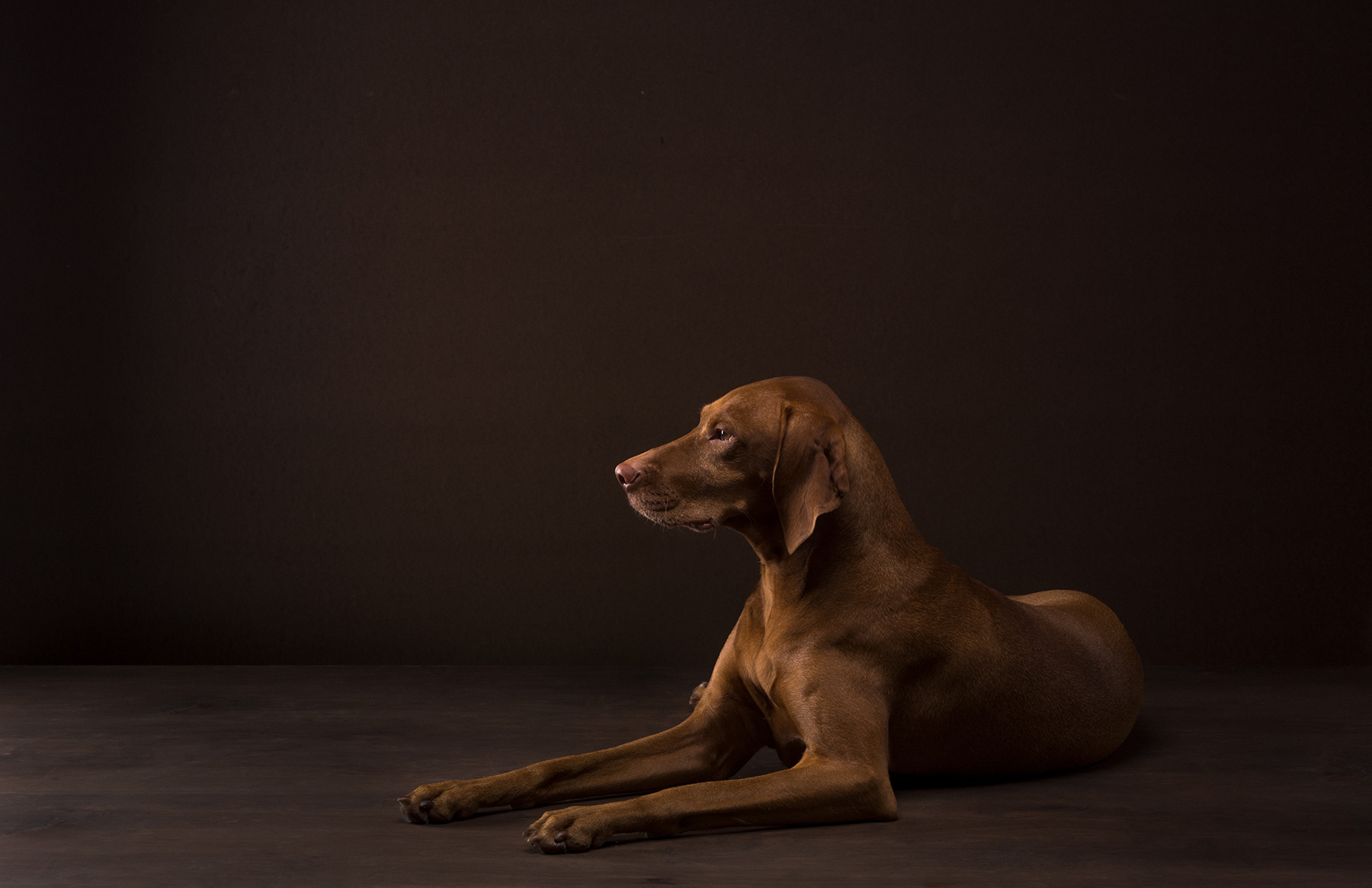 A-studio-portrait-of-a-Vizsla-dog-against-a-black-background