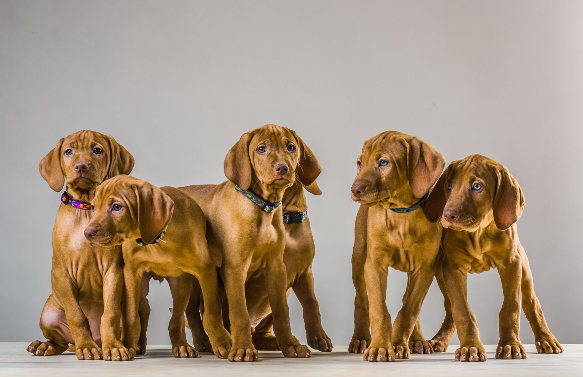 194 Vizslas - Amy Ball 2014