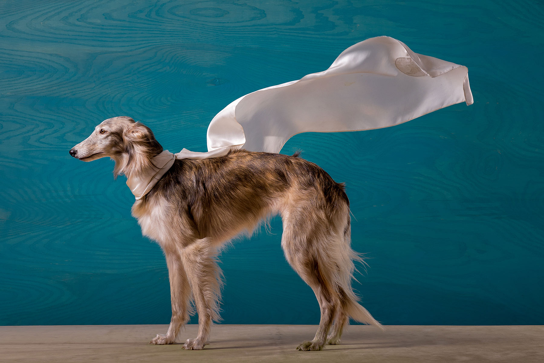 A-studio-portrait-of-a-hound-dog-wearing-a-white-cape-against-a-blue-background