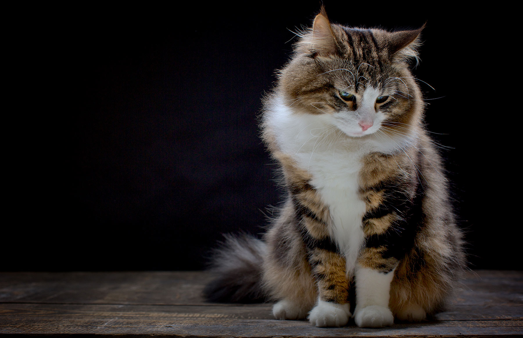 51220 Norwegian Forest Cat 1 2013