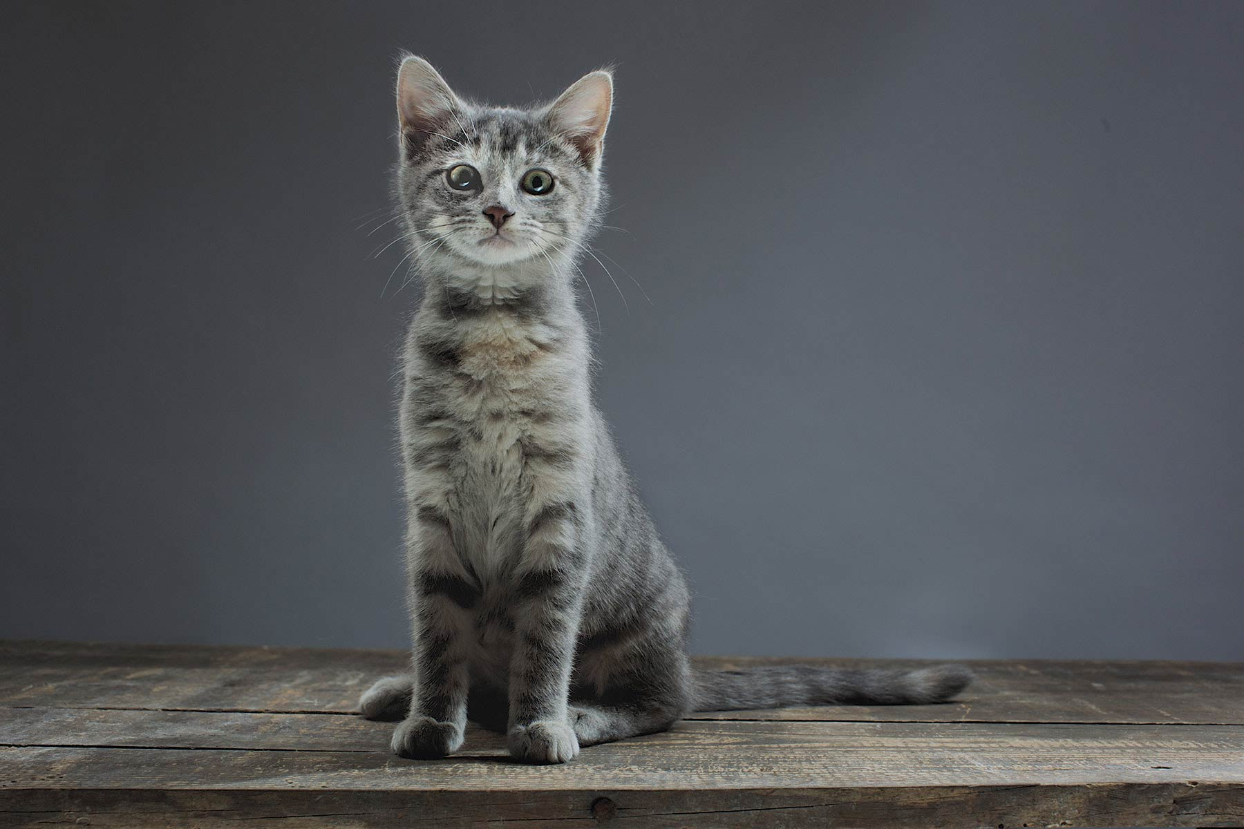 A-studio-portrait-of-a-Gray-Kitten-against-a-black-background