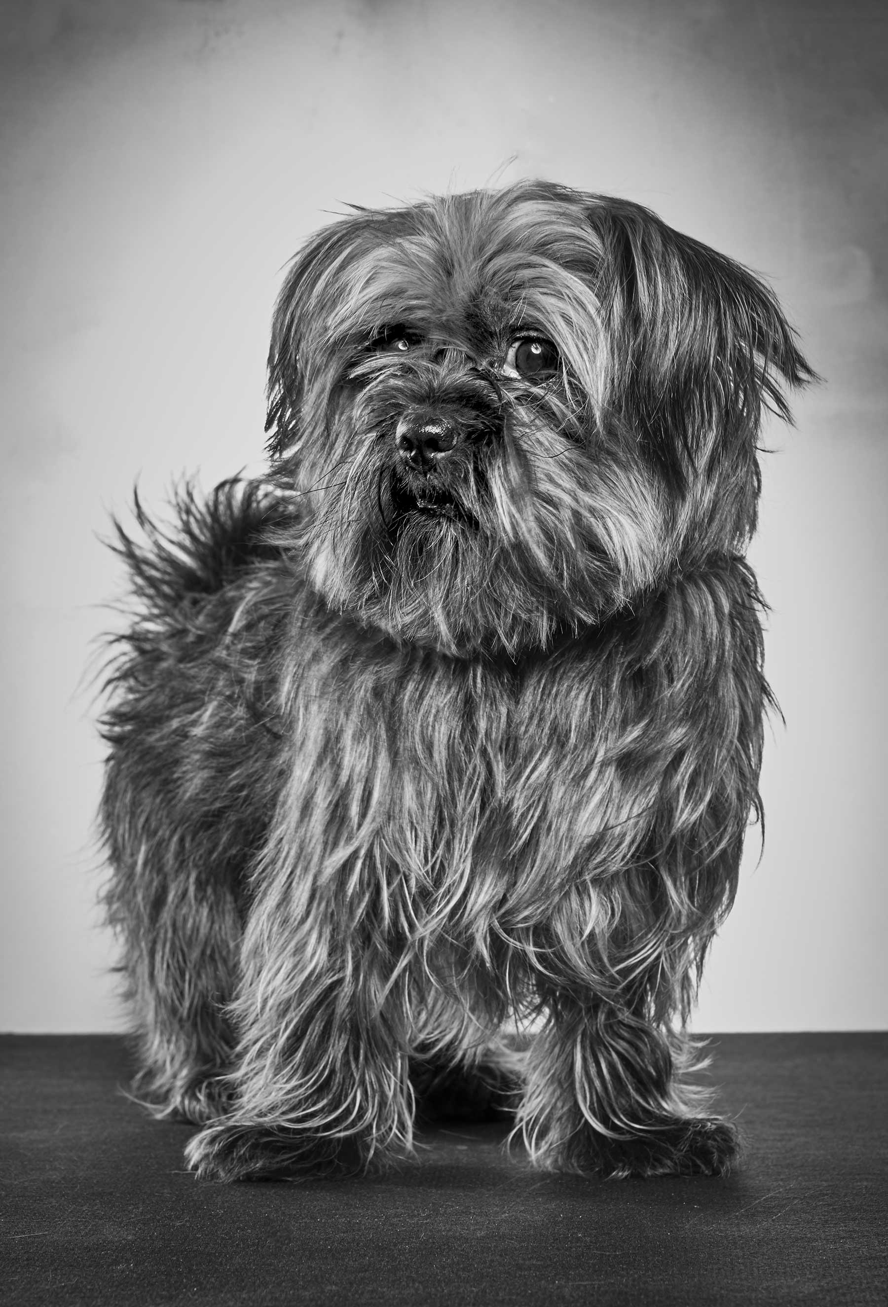 54-Bill---Yorkshire-Terrier-2014-3