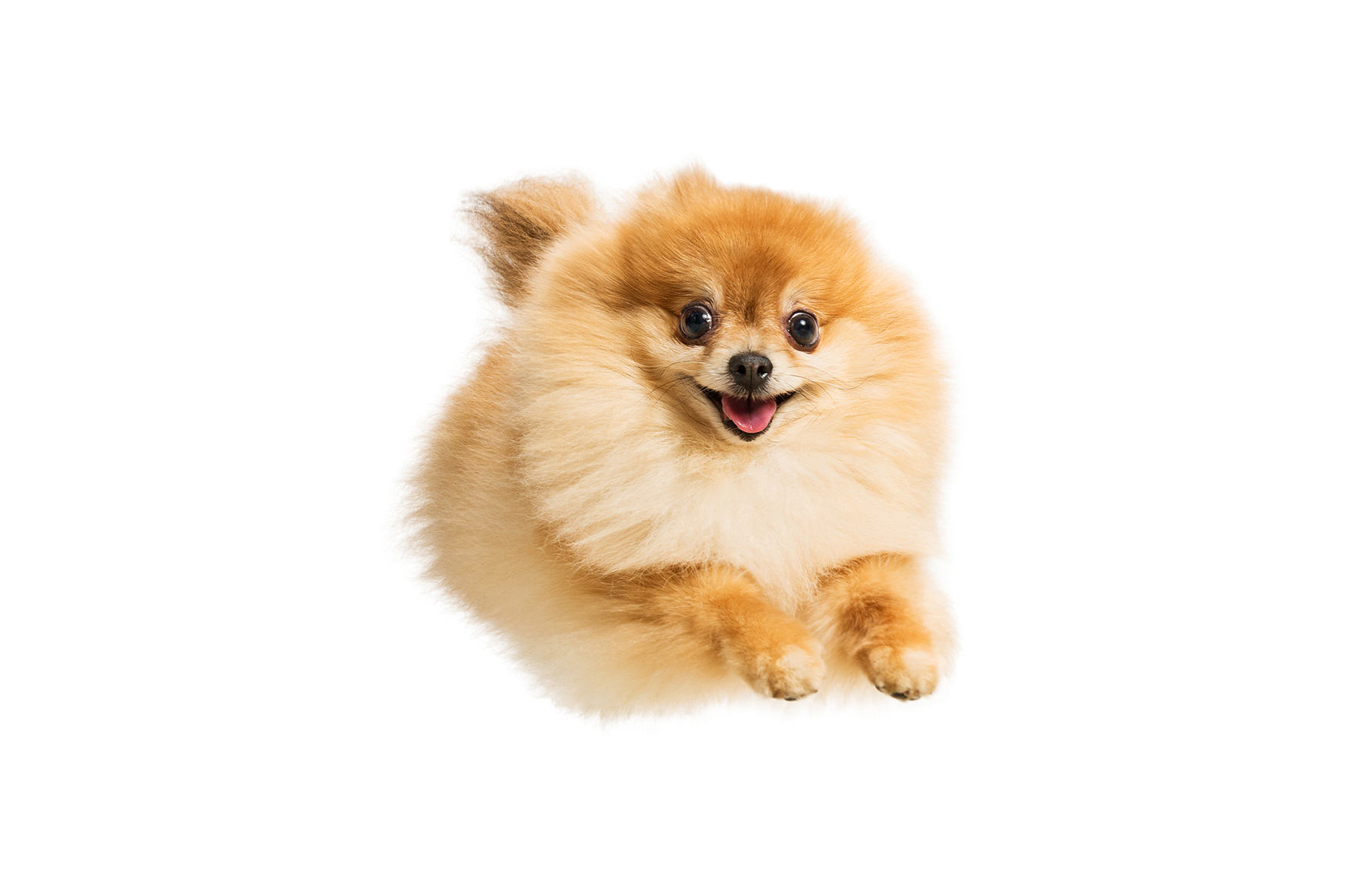 A-studio-portrait-of-a-happy-Pomeranian-leaping-through-the-air-against-a-white-background
