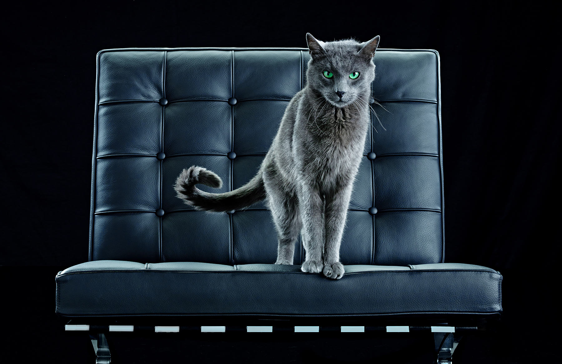A-studio-portrait-of-a-gray-cat-with-green-eyes-standing-on-couch-against-a-black-background