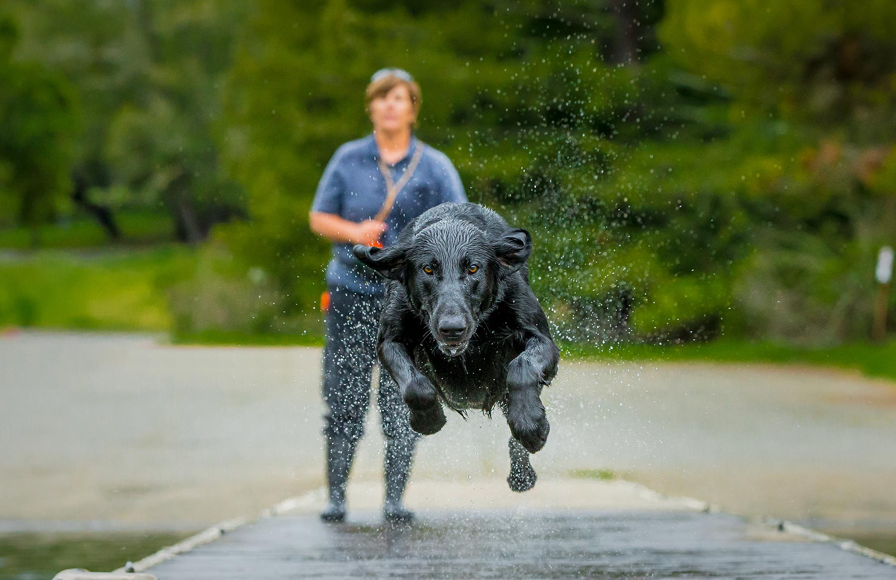 A-Black-Labrador-sprinting-down-a-water-covered-bridge-as-its-owner-looks-on