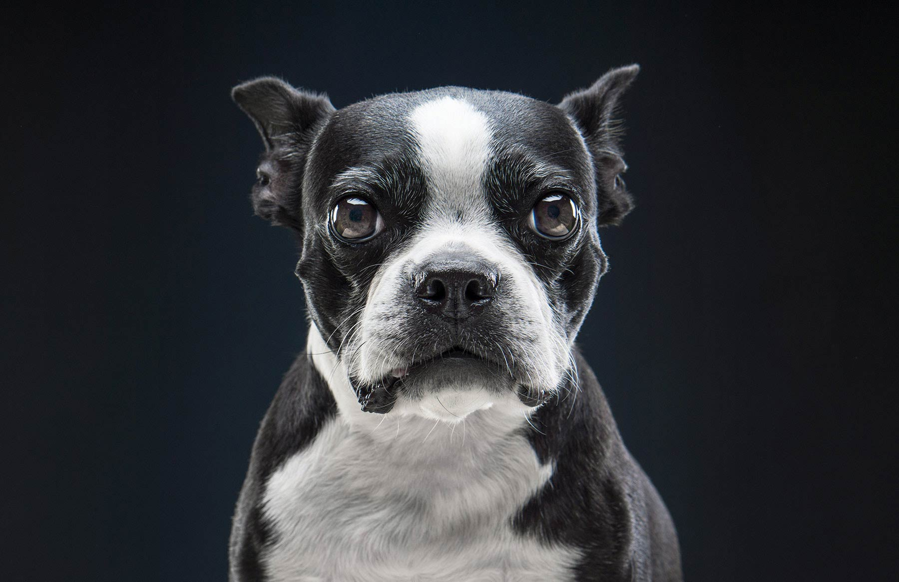 A-studio-portrait-of-a-Boston-Terrier-against-a-black-background