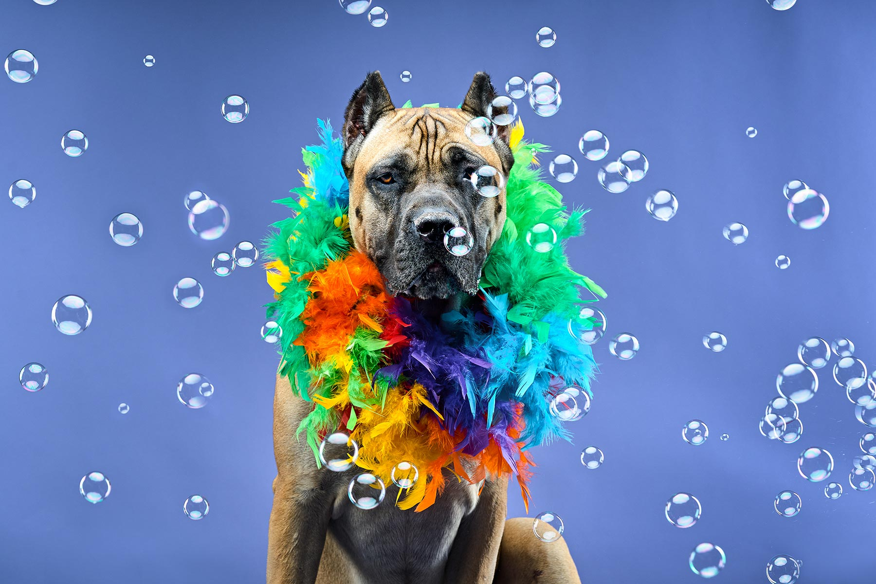 A-studio-portrait-of-a-Cane-Corso-wearing-a-feather-boa-surrounded-by-bubbles