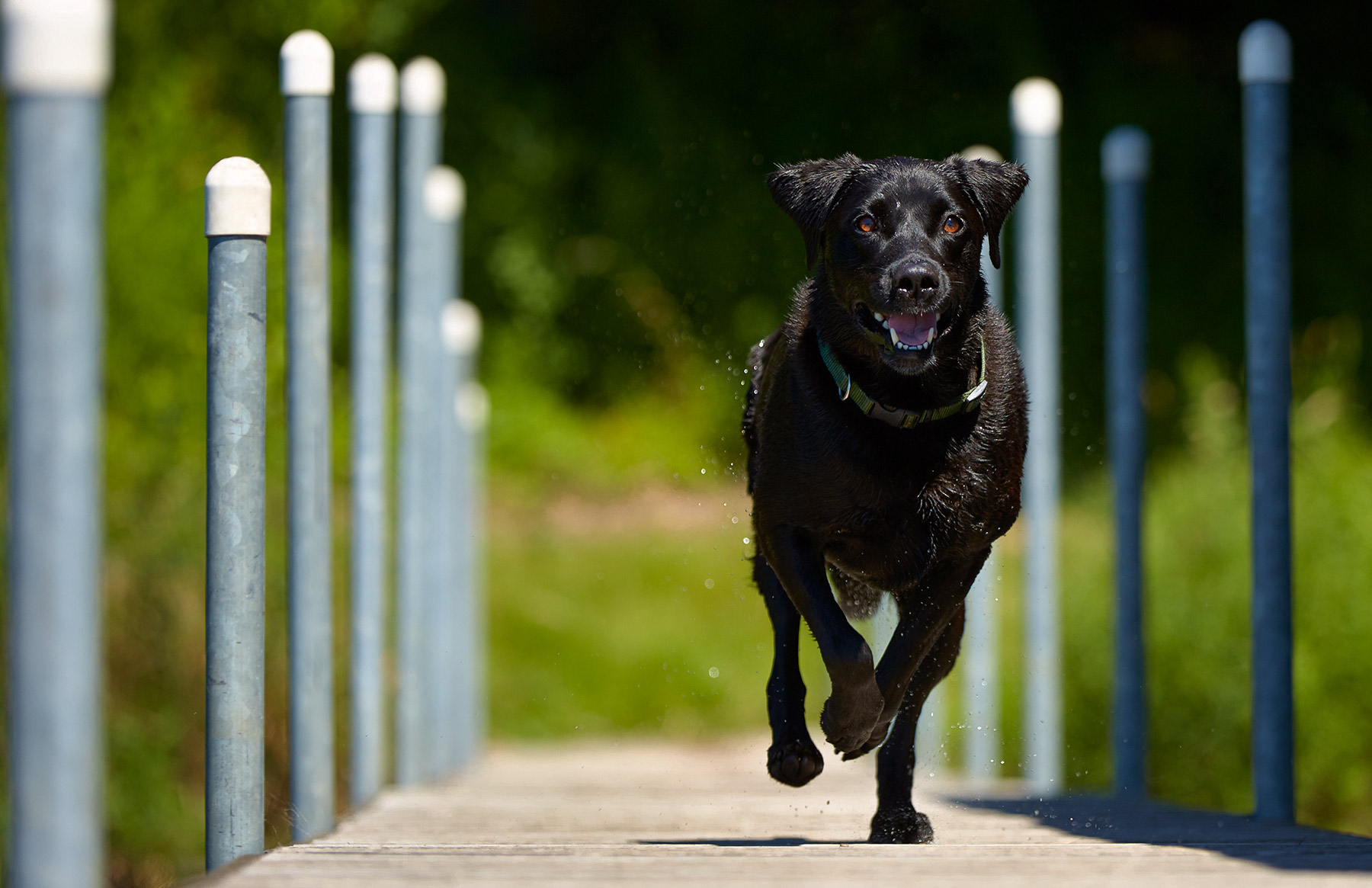 A-Black-Labrador-dog-running-along-a-park-bridge