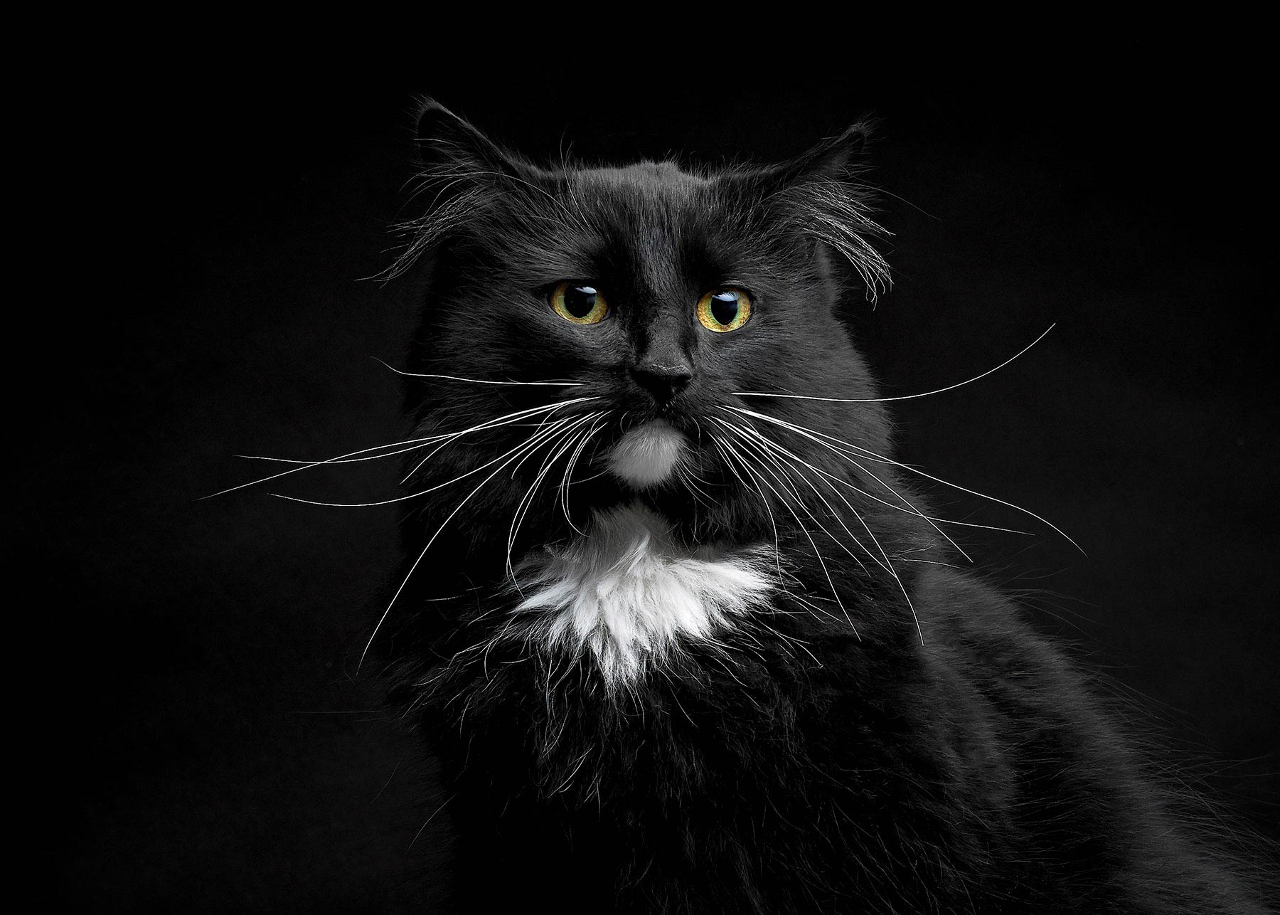 A-studio-portrait-of-a-black-and-white-cat-against-a-black-background