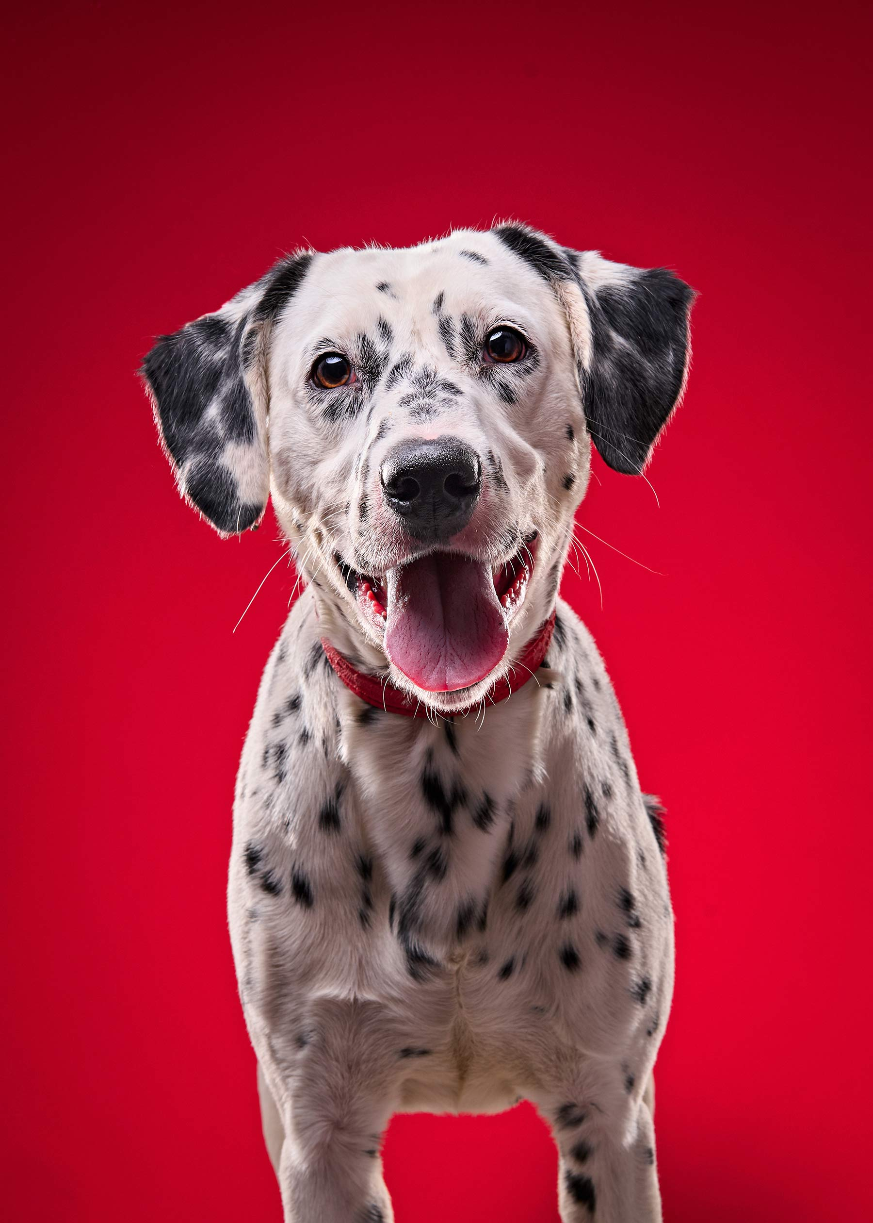 A-studio-portrait-of-a-happy-dalmatian-dog-on-a-bright-red-background