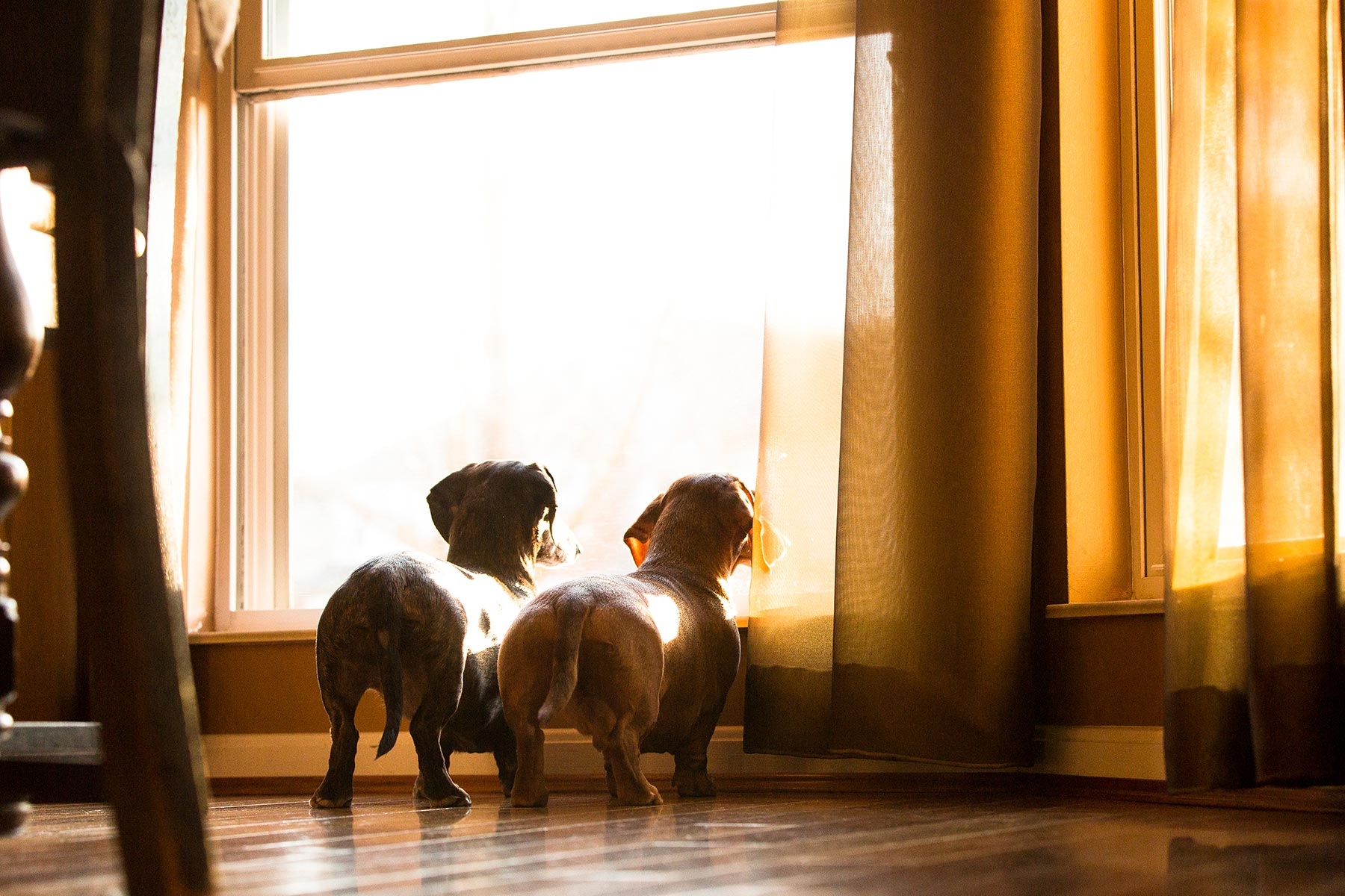 Two-Dachshund-dogs-in-the-front-window