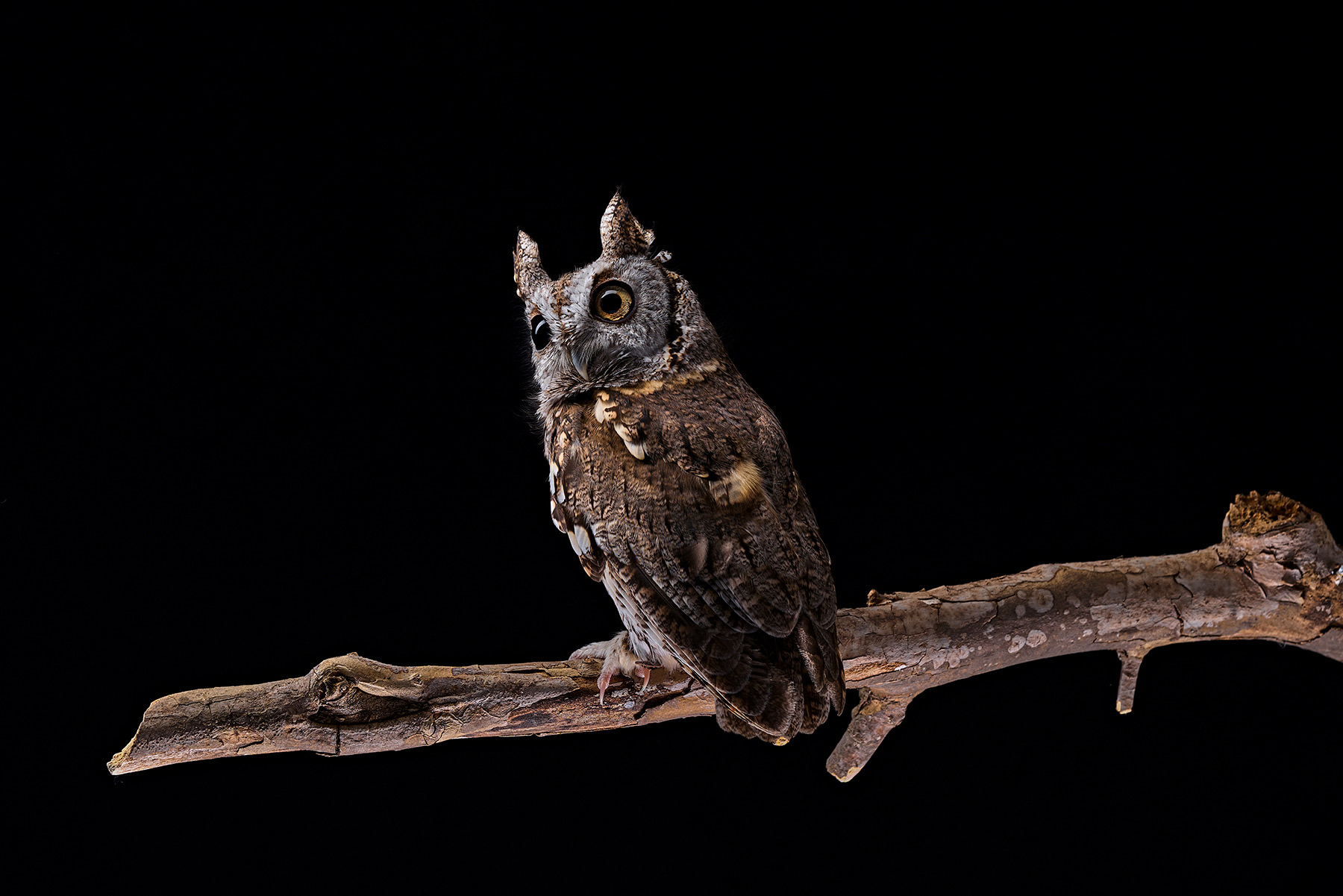 A-studio-portrait-of-a-gray-screech-owl-against-a-black-background