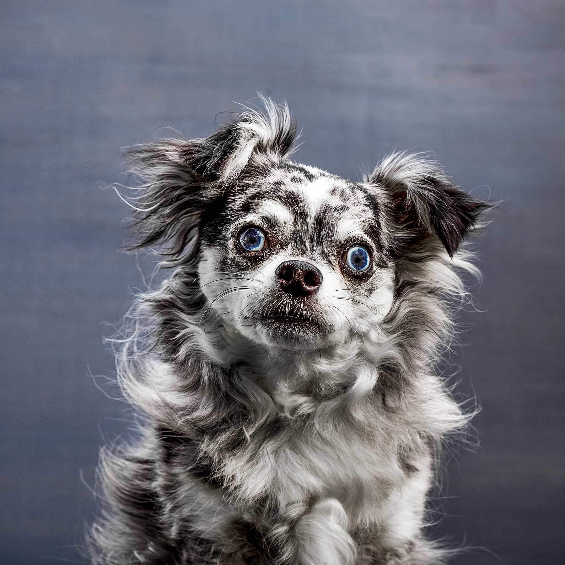 A-studio-portrait-of-a-black-and-white-dog-against-a-gray-background