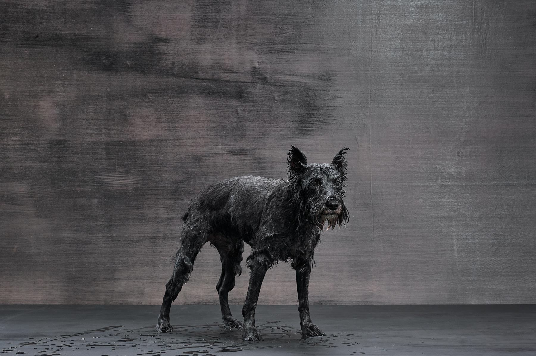 A-studio-portrait-of-a-wet-black-dog-against-a-black-background
