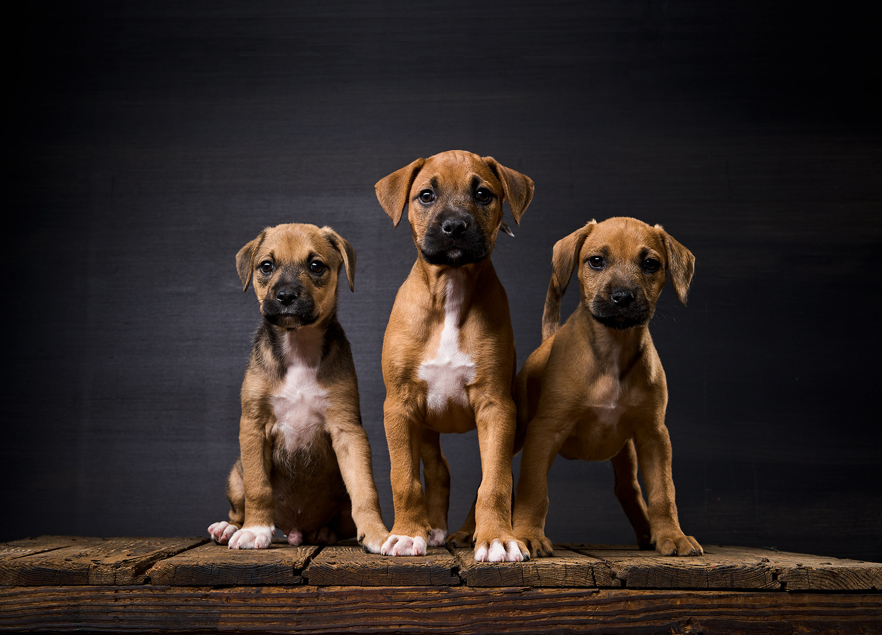 A-studio-portrait-of-three-Boxer-puppies-against-a-black-background