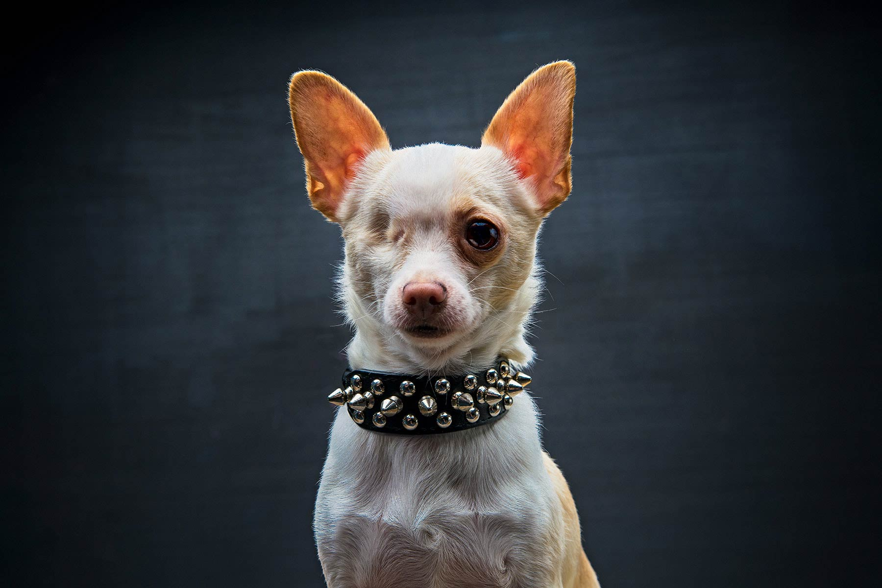 A-studio-portrait-of-a-one-eyed-chihuahua-dog-against-a-black-background