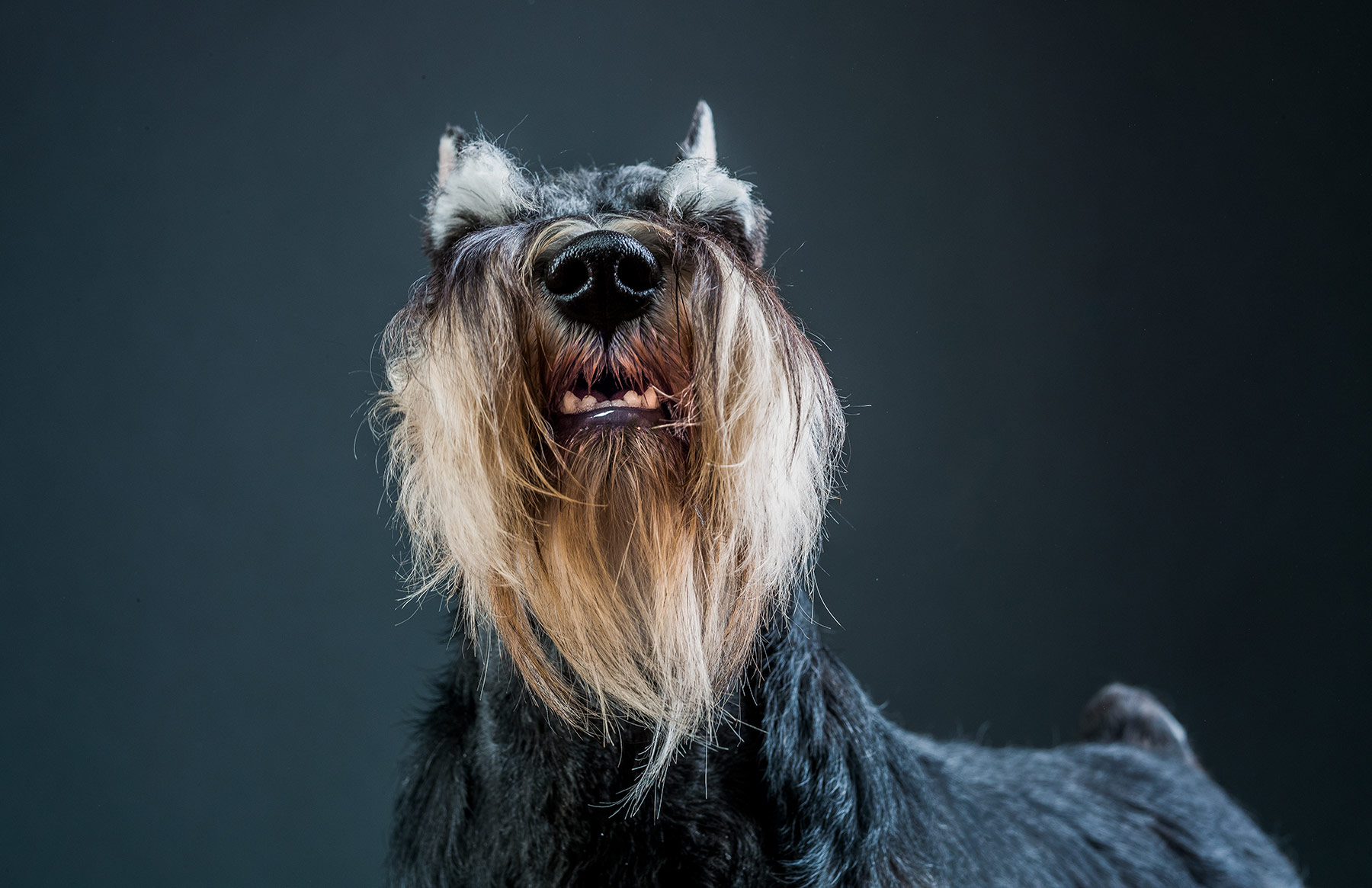 A-studio-portrait-of-a-Mini-Schnauzer-dog-against-a-black-background