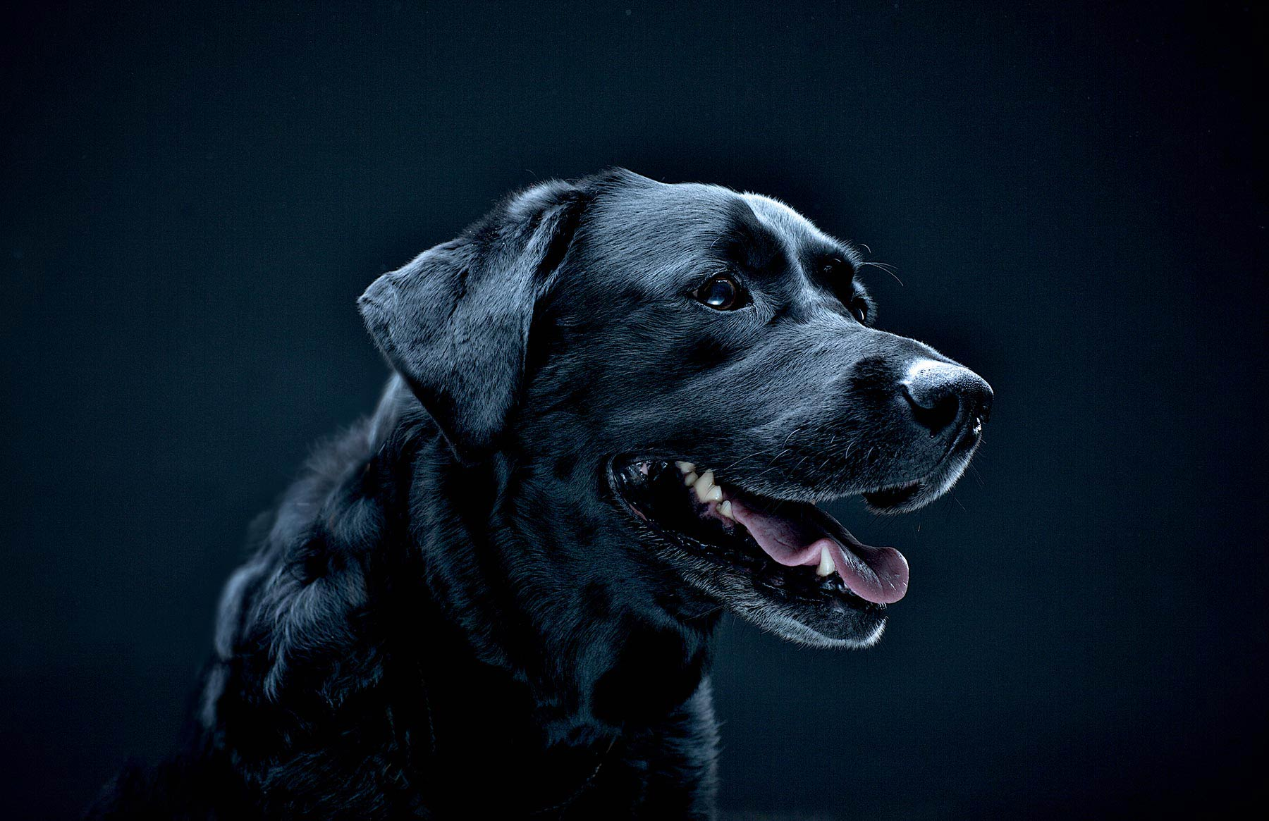 A-studio-portrait-of-a-Black-Labrador-dog-against-a-black-background