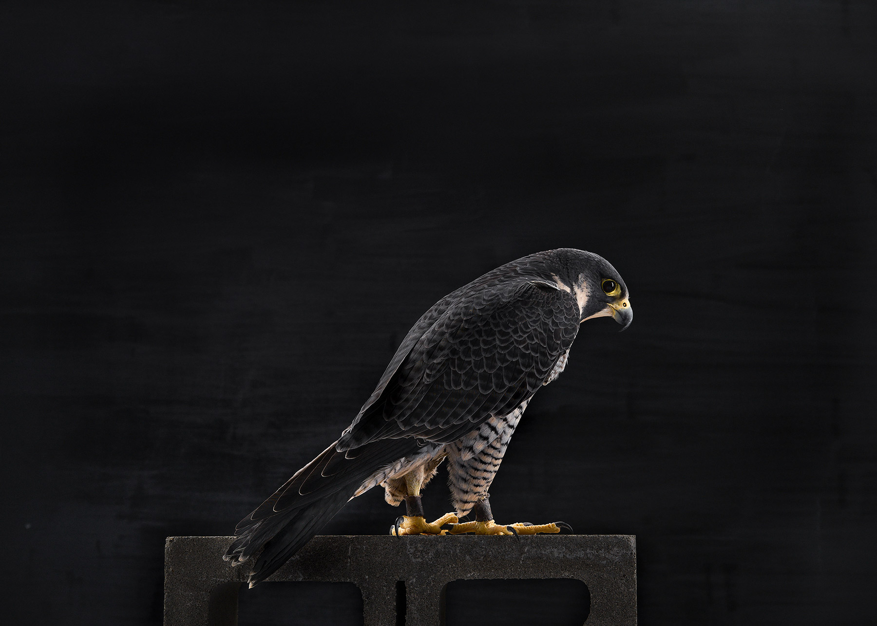 A-studio-portrait-of-a-Peregrine-Falcon-against-a-black-background