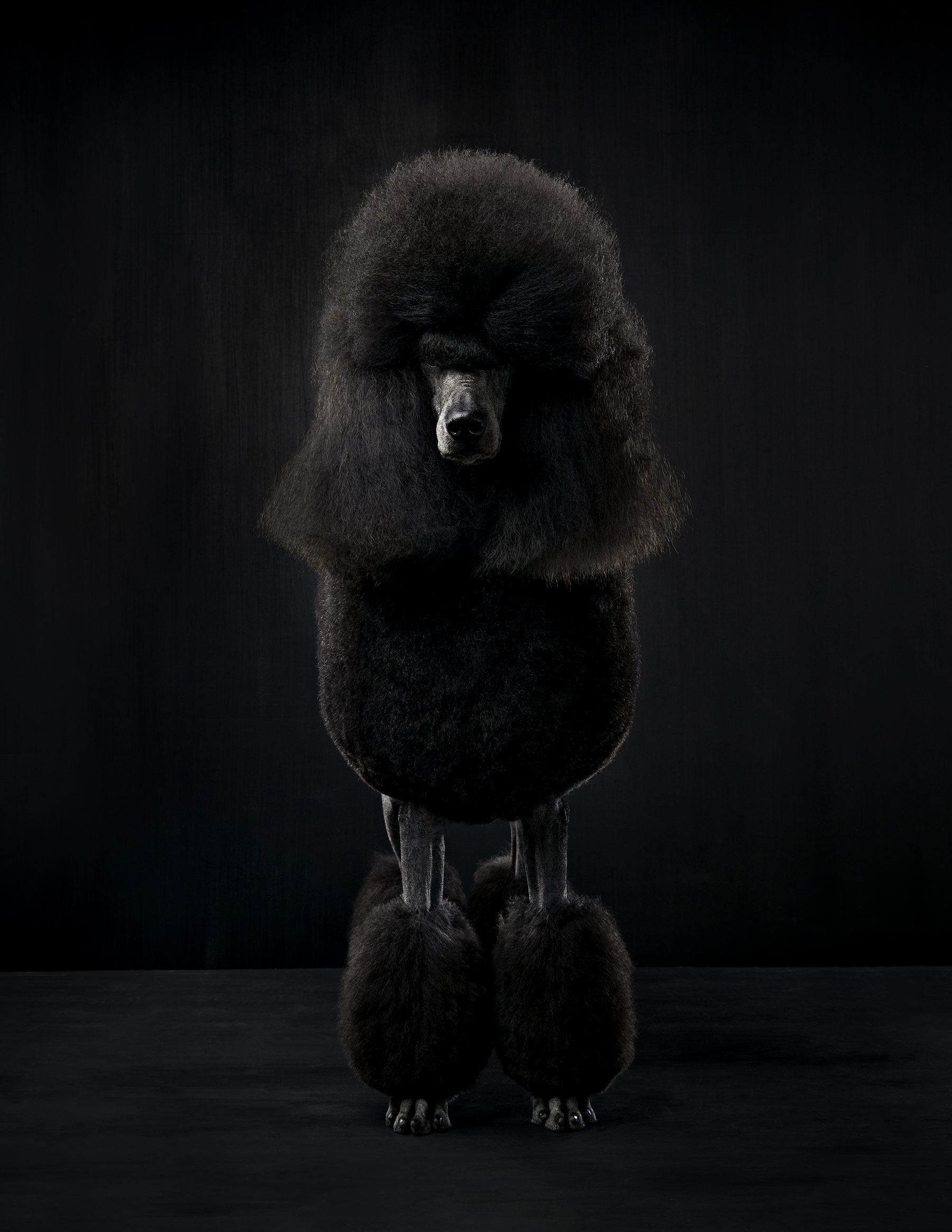 A-studio-portrait-of-a-black-Standard-Poodle-dog-against-a-black-background