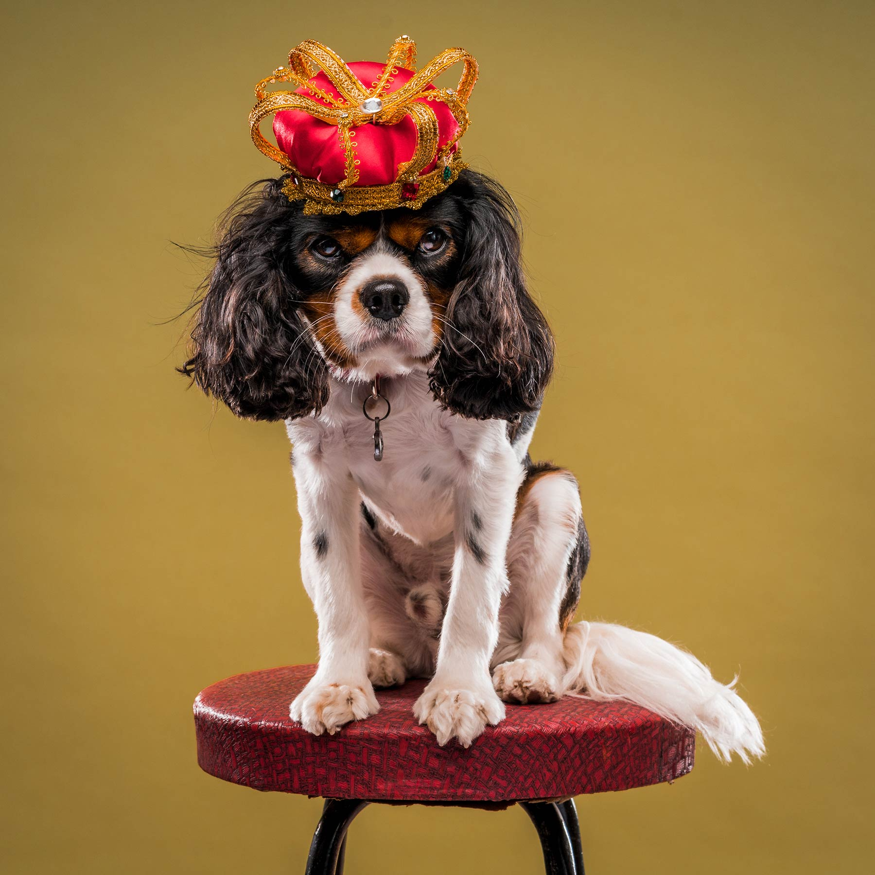 A-studio-portrait-of-a-King-Charles-Cavalier-dog-with-a-crown-against-a-yellow-background