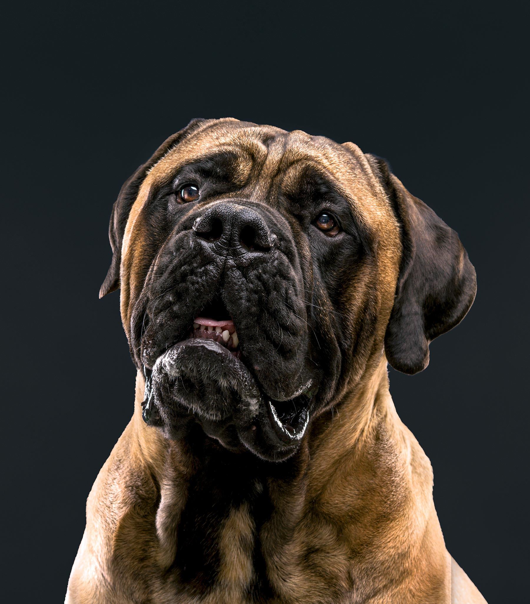 cropped-Bull-Mastiff-0491-RB-Expand-background